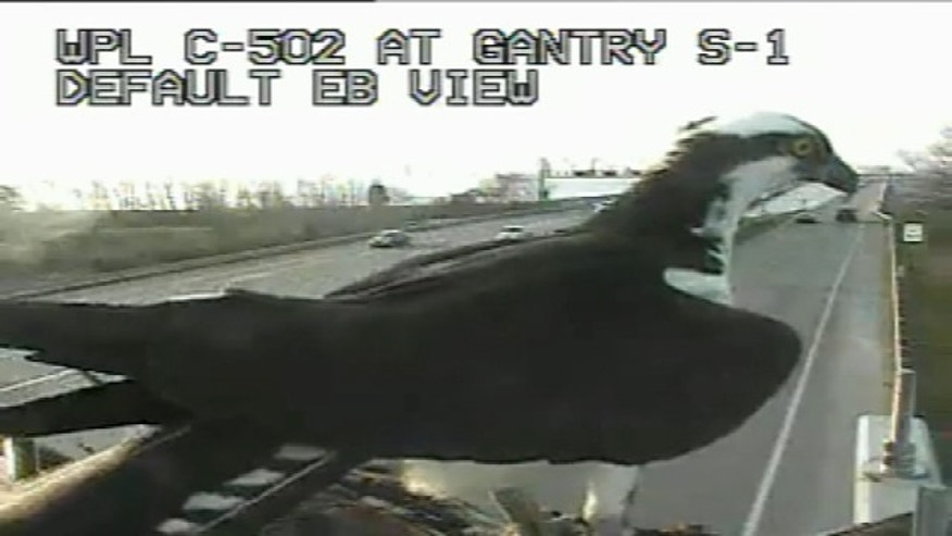This undated screen grab shows an osprey that has been trying to build a nest on a Maryland traffic camera.