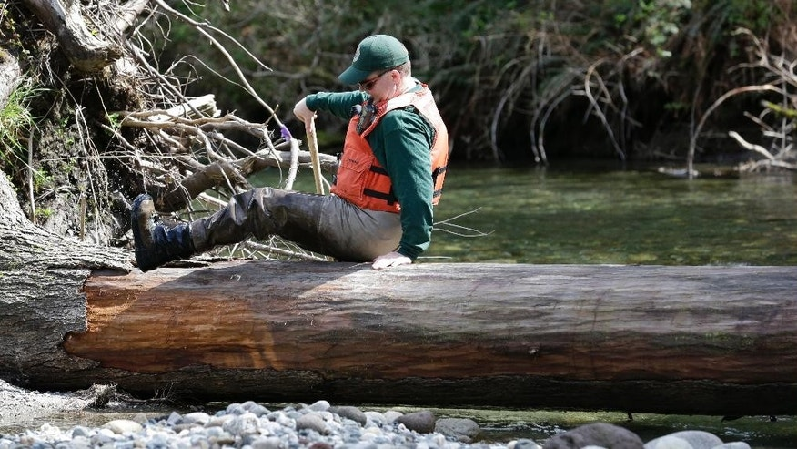 In this photo taken Tuesday, April 15, 2014, fisheries biologist Pete Verhey clambers over a log while searching for evidence of fish eggs in Squire Creek, a tributary of the North Fork of the Stillaguamish River, near Darrington, Wash. Finding a spawning nest, called a redd, is an encouraging sign that steelhead trout may be making their way upstream from Oso., Wash., above where a massive landslide decimated a riverside neighborhood a month ago and pushed several football fields worth of sediment down the hillside and across the river. As search crews continue to look for people missing in the slide, scientists also are closely monitoring how the slide is affecting federally endangered fish runs, including Chinook salmon and steelhead. (AP Photo/Elaine Thompson)