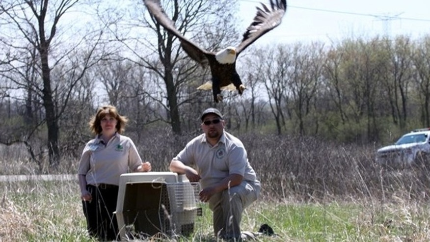 April 25: Rose Augustine, left, a wildlife keeper at Willowbrook and Rob Negrete, who was one of the two officers involved in the eagle's initial rescue, release a bald eagle after it recovered from being shot and left to die.