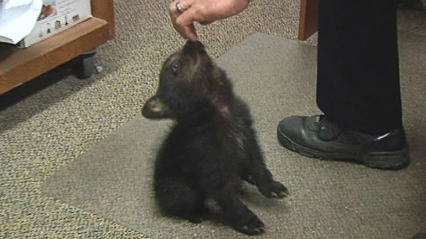 May 20, 2014: In this image from KPIC-TV video, police in Myrtle Creek, Ore. watch after a female bear cub dropped off at the police station after a boy found the cub inside the city limits.