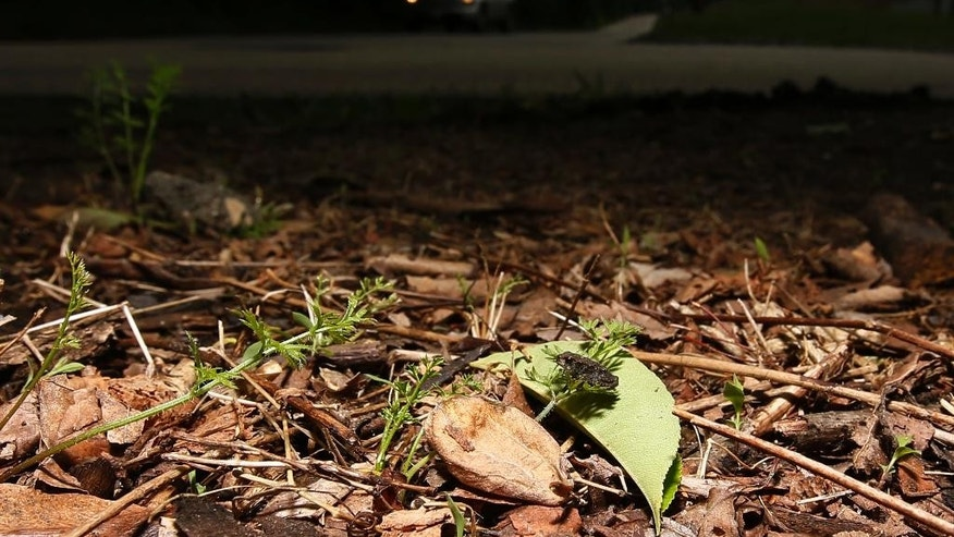 A baby toad sits along side a road, Wednesday, June 11, 2014, in the Roxborough neighborhood of Philadelphia. A humid and rainy summer night makes for quite a rush hour in Philadelphia as thousands of baby toads try to hop across a busy street. (AP Photo/Matt Slocum)