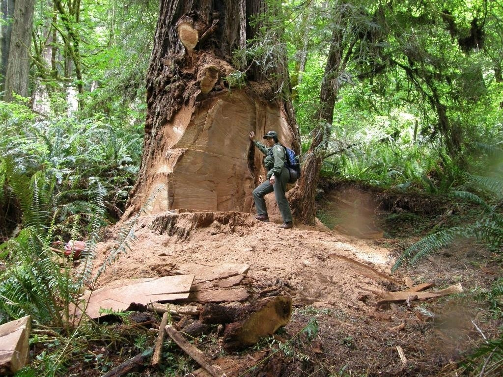 Redwood Burl Poaching Spreads From National Park To National Forests Fox News