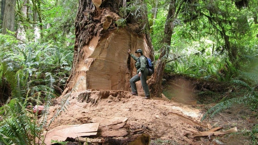 This May 21, 2013 photo provided by the National Park Service shows wildlife biologist Terry Hines standing next to a massive scar where a burl has been cut by poachers from an old growth redwood tree in the Redwood National and State Parks near Klamath, Calif. Poaching has spread to national forests in Northern California and Oregon, prompting the conservation group Oregon Wild to call on the U.S. Forest Service to close old logging roads to protect the trees. The Forest Service says it is investigating. (AP Photo/Redwood National and State Parks, Laura Denn)