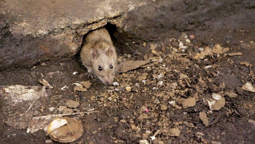 FILE - In this Dec. 12, 2005 file photo, a rat comes briefly out of its hole at a subway stop in the Brooklyn borough of New York, before retreating at the arrival of the F train. New York City is gearing up for its latest war on rats with an army of inspectors will descend on the city's most rat-infested neighborhoods, targeting the parks, sewers and dumping areas where rats congregate and breed. (AP Photo Photo/Julie Jacobson, File)