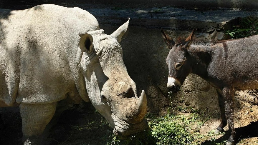 In this Saturday, June 14, 2014 photo rhinoceros Manuela and a donkey  in the same enclosure at the Tbilisi Zoo, Georgia. The zoo keepers tried to help Manuela the rhino who was feeling depressed by putting the donkey in the same enclosure. The strategy worked and the animals have been living peacefully together. (AP Photo/ Shakh Aivazov)