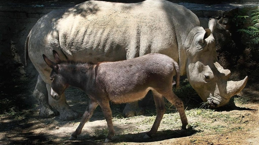 In this Saturday, June 14, 2014 photo rhinoceros Manuela and a donkey  in the same enclosure at the Tbilisi Zoo, Georgia. The zoo keepers tried to help Manuela the rhino who was feeling depressed by putting the donkey in the same cage. The strategy worked and the animals have been living peacefully together. (AP Photo/ Shakh Aivazov)