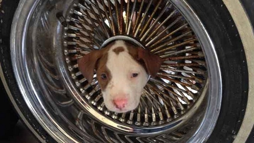 The puppy had its head stuck through the hub of an automobile wheel when its owner brought it to a Kern County fire station on Friday.