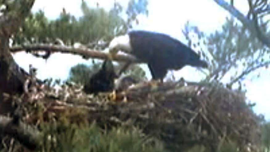 June 25, 2014: This still image from streaming online video provided by Biodiversity Research Institute shows an adult bald eagle, center, feeding a young eaglet.