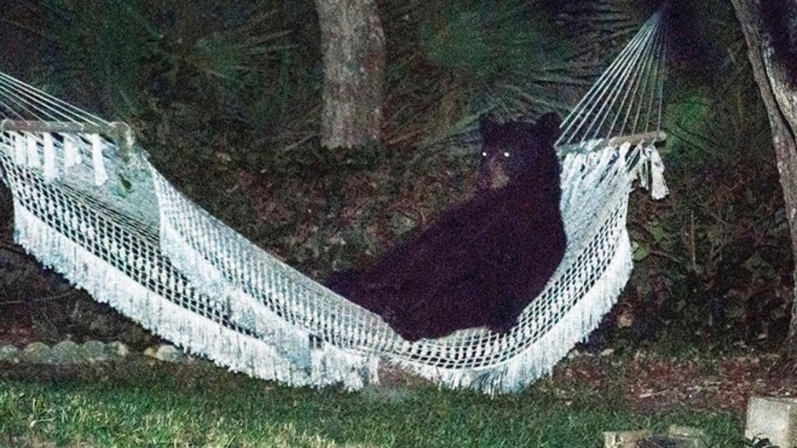 In May, a black bear was photographed getting comfortable on a hammock in a Daytona Beach, Fla. home. A black bear was killed in Juneau, Alaska, Saturday after likely crashing a child's birthday party.