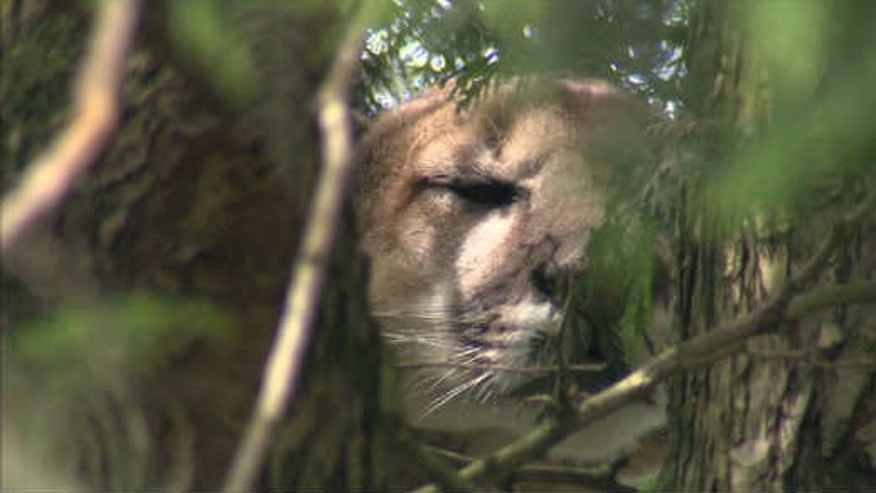 July 4, 2014: This still from a video shows a cougar who was tranquilized and euthanized over the weekend in Portland, Ore. (Courtesy KPTV)