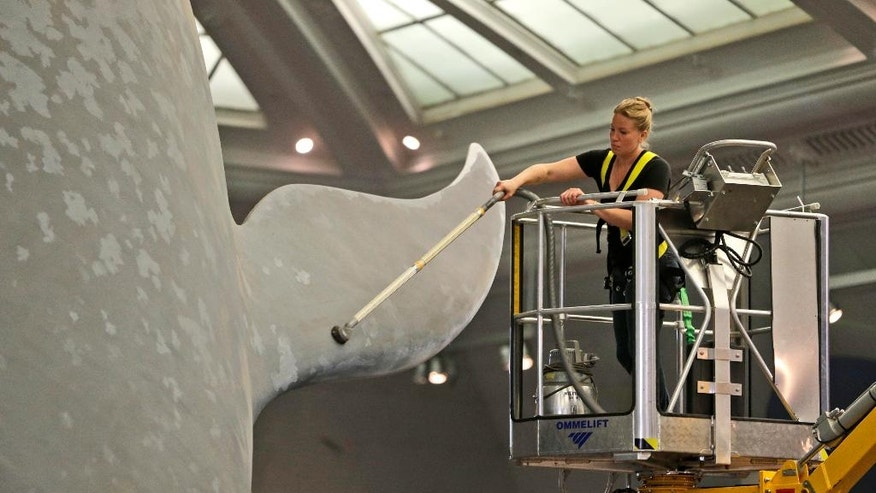 Brittany Janaszak vacuums the dust off of a life-size model of a blue whale at the American Museum of Natural History in New York, Tuesday, July 8, 2014. (AP Photo/Seth Wenig)