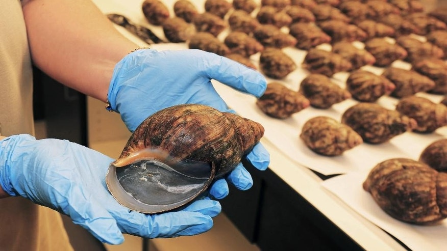 This undated photo provided by United States Department of Agriculture (USDA) shows a person using two hands to hold a single snail from an air cargo shipment of 67 live snails that arrived at Los Angeles International Airport on July 1, 2014. Officials said that the 35 pounds of snails arrived from Nigeria along with paperwork stating they were for human consumption. Officials say the snails were intercepted  and they were subsequently identified after a sample was sent to U.S. Department of Agriculture specialists in Washington, D.C. (AP Photo/USDA, Greg Bartman)