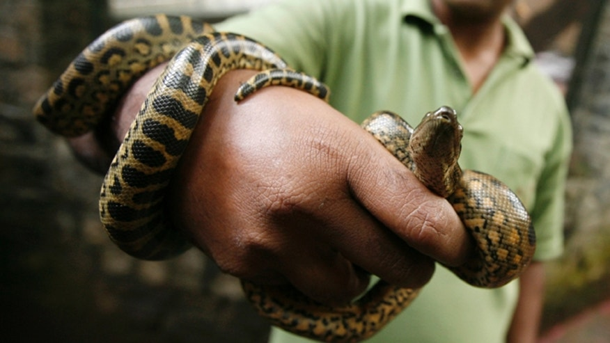 FILE: A 16-foot green anaconda is on the loose in a New Jersey lake.