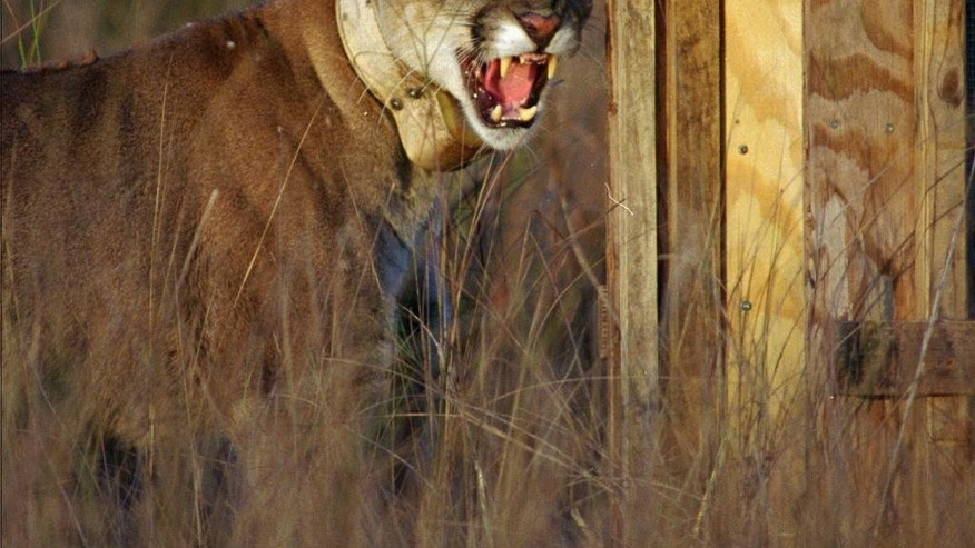 FILE- In this Jan. 30, 1997 file photo, An adult male Florida panther growels as he leaves his shipping container to enter his new home at Big Cypress National Preserve, Fla. A University of Florida study has found that as the Florida panther population has rebounded, ranchers are loosing more cattle to panther attacks. The study will help determine how to compensate ranchers for their losses. (AP Photo/Gregory Smith, File)