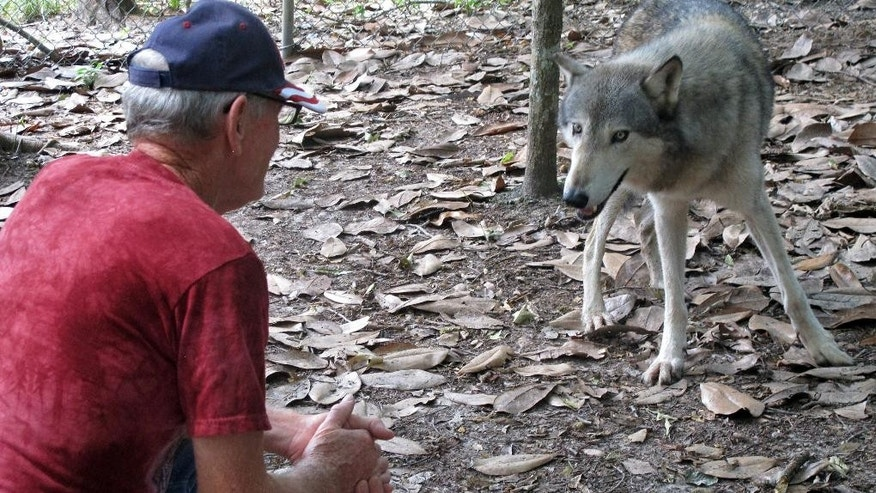 In this July 8, 2014 photo, Wayne Watkins kneels near a wolf inside the Seacrest Wolf Preserve in Chipley, Fla. The 450 acre preserve is home to 30 gray, Arctic and British Columbian wolves. It is the largest wolf preserve in the Southeastern United States. The preserve was damaged during heavy rains that flooded the region in April. (AP Photo/Melissa Nelson-Gabriel)
