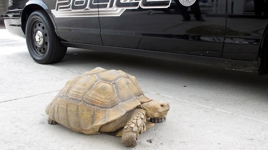 This Aug. 2, 2014 photo provided by the Alhambra Police Department shows a giant 150-pound tortoise who was found wandering the streets of Alhambra, Calif. (AP/Alhambra Police Department)