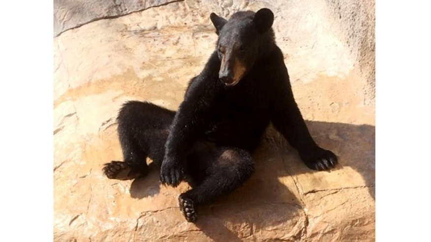 Aug 4, 2014: This photo provided by the Gladys Porter Zoo shows Oscar, a black bear a few minutes before he managed to climb out of his exhibit area at the Gladys Porter Zoo in Brownsville, Texas.