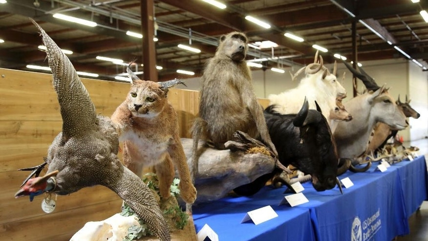 """Confiscated stuffed animals are shown in Carson, Calif., Wednesday, Aug. 6, 2014. U.S. Customs and Border Protection announced and displayed the taxidermy take with an estimated value of nearly $9,000 on Wednesday. They were seized last month at a port inspection when officers found seven boxes with """"animal heads"""" written on them.  (AP Photo/ Nick Ut )"""