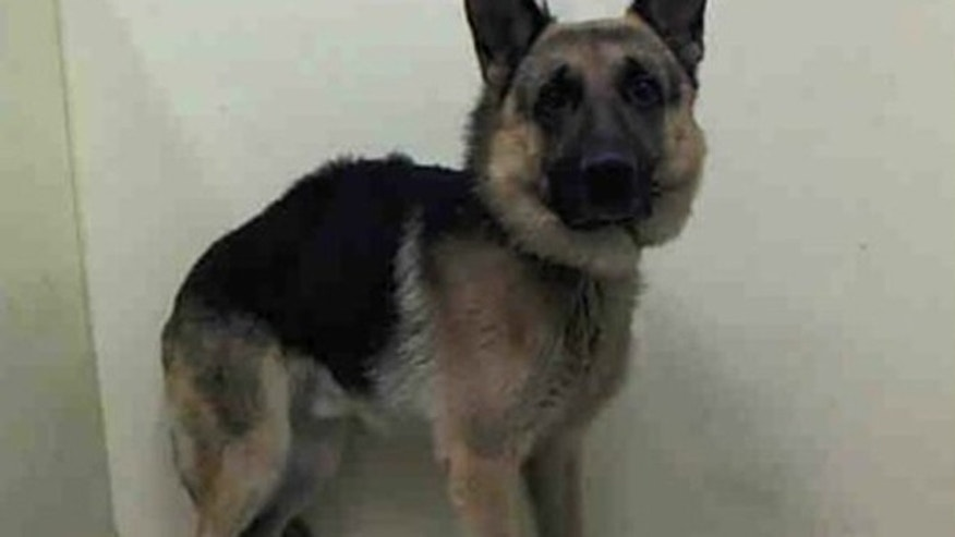 Duke, a 4-year-old German shepherd, is listed to be euthanized at any moment, but is credited with saving his family from an approaching bear.