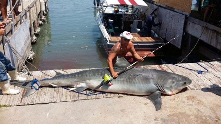 In this Aug. 3, 2014 photo provided by Ryan Spring, Spring poses with an 809-pound, 12-foot, 7-inch tiger shark he caught after reeling it in for more than seven hours in the Gulf of Mexico, off Port Aransas, Texas. It took about a dozen men to haul the male shark onto the dock. Spring plans to donate meat from the shark to charity. (AP Photo/Ryan Spring via The San Antonio Express-News)  RUMBO DE SAN ANTONIO OUT&#x3b; NO SALES