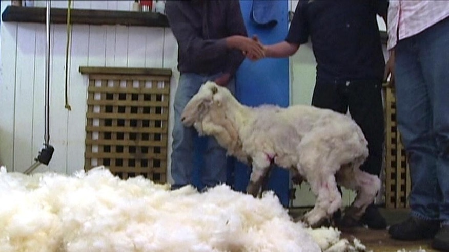 In this image made from video, Shaun the shaggy Australian sheep stands after being shorn in Midlands, Australia, Thursday, Aug. 28, 2014. Shaun received his haircut for the first time in years Thursday, losing 23.5 kilograms (52 pounds) of wool but fleece failed to break record. (AP Photo/AuBC via AP Video) AUSTRALIA OUT
