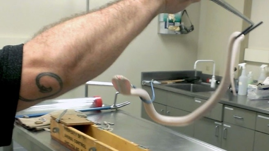 Sept. 4, 2014: This photo provided by the Los Angeles Zoo shows a deadly cobra being put into quarantine at the Los Angeles Zoo.