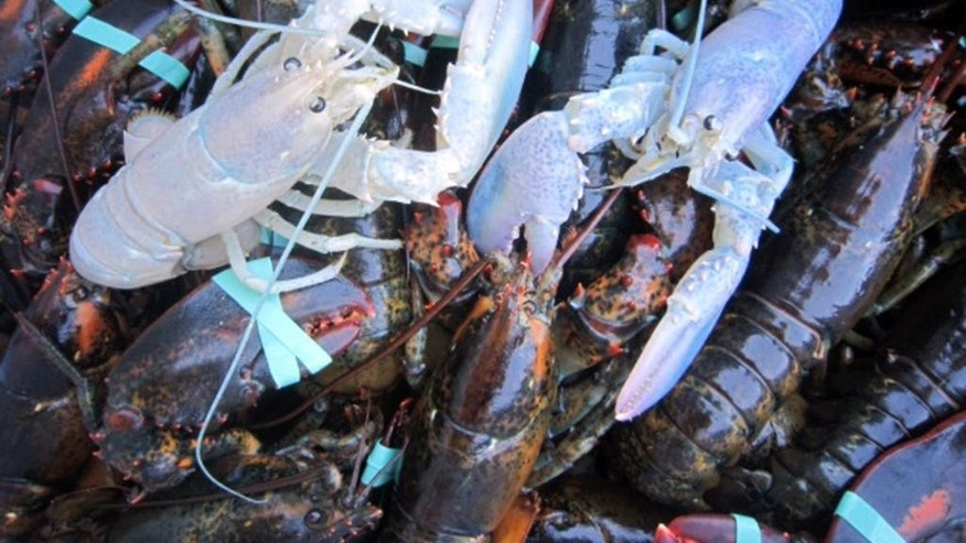 In this photo provided by Owls Head Lobster Company, two albino lobsters sit in a crate with other lobsters at Owls Head Lobster Company in Owls Head, Maine, Friday, Sept. 5, 2014. The Portland Press Herald reports Bret Philbrick caught the curious crustacean off of Owls Head on Thursday and Joe Bates caught one off the Rockland breakwater days earlier. Albino lobsters are believed to be about one in 100 million. (AP Photo/Owls Head Lobster Company, Elizabeth Watkinson)