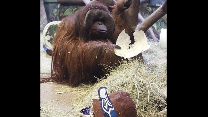 In this Jan. 30, 2014, file photo provided by the Hogle Zoo, Eli the ape has a paper mache Seattle Seahawks helmet she chose over a Denver Broncos helmet, predicting the winner of the Super Bowl, at the Hogle Zoo, in Salt Lake City. The Hogle Zoo in Salt Lake City said Tuesday, Sept. 9, that Eli, who gained national notoriety by accurately predicting the Super Bowl winner for seven consecutive years, died Saturday, Sept. 6, 2014, from complications due to breast cancer. He was 24.