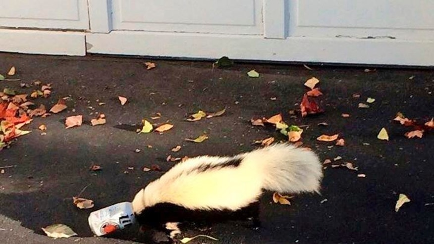 This photo taken Sunday, Sept. 14, 2014, in Oxford, Ohio, by police officer Matt Hatfield and provided by the Oxford police department, shows a skunk with it's head stuck in a beer can near a fraternity house at Miami (Ohio) University. An animal control officer was able to free and release the skunk without being sprayed. (AP Photo/Oxford Police Department, Matt Hatfield)