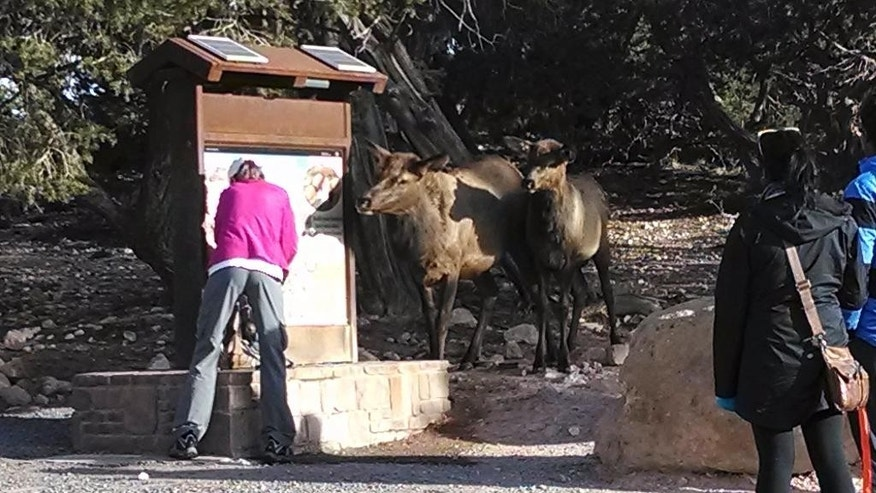 In this Nov. 10, 2013 photo provided by Brandon Holton, a Wildlife Biologist with the Science and Resource Management at the at the Grand Canyon National Park, elks interact with visitors at the south kaibab water station at the Grand Canyon National Park in Arizona.  The animals are helping themselves by lifting the spring-loaded levers at the stations with their noses and letting the water flow. Officials at the Grand Canyon plan to elk-proof the stations to outsmart the animals, conserve water and protect visitors from aggressive behavior.  (AP Photo/U.S. National Park Service)
