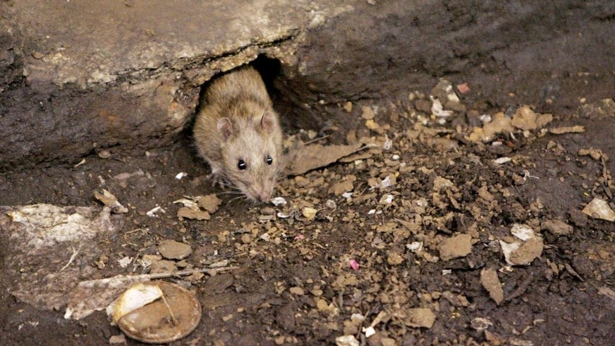 FILE - In this Dec. 12, 2005 file photo, a rat comes briefly out of its hole at a subway stop in the Brooklyn borough of New York, before retreating at the arrival of the F train. City Comptroller Scott Stringer said Sunday, Oct. 12, 2014 that New York is losing the rat race. He said citizen complaints about pests to the 311 hotline plus online reports went from 22,300 in fiscal year 2012 to 24,586 the next year. (AP Photo Photo/Julie Jacobson, File)