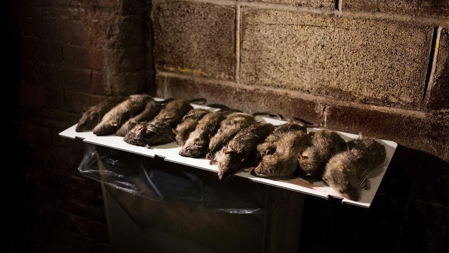 FILE - In this April 26, 2013 file photo, rats are displayed in a lower Manhattan alley after being caught and killed by small hunting dogs owned a group of people who gather to let their various breeds hunt rats in New York. City Comptroller Scott Stringer said Sunday, Oct. 12, 2014 that New York is losing the rat race. He said citizen complaints about pests to the 311 hotline plus online reports went from 22,300 in fiscal year 2012 to 24,586 the next year. (AP Photo/Craig Ruttle, File)