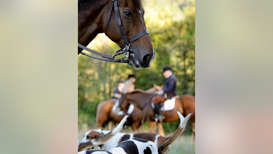 "In this Wednesday, Oct. 8, 2014 photo, riders from Fairfield County Hounds and dogs assemble for a hunt in Bridgewater, Conn. American fox-hunting, a sport so steeped in tradition that riders still wear ties and blazers and cry out ""Tally ho!"" at the sight of prey, is adapting to a dramatic change: Foxes have been displaced by coyotes which, in turn, have become the hunters' new quarry. (AP Photo/Jessica Hill)"