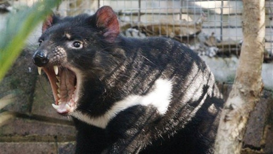 A Tasmanian devil sits in his enclosure at Sydney's Taronga Zoo.