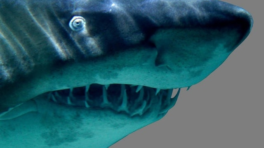A tiger shark, similar to the one pictured here, attacked a surfer holding his 8-year-old son off Maui on Saturday.