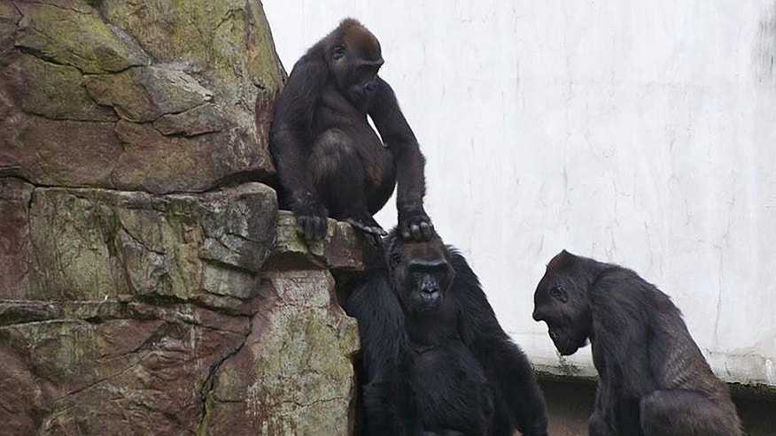 In this photo provided by the San Francisco Zoo, lowland gorillas are seen Monday, Nov. 10, 2014 at the San Francisco Zoo. In the wake of Friday's tragic accidental death of the young female gorilla Kabibe, San Francisco Zoo primate staff has been monitoring the six-member western lowland gorilla troop. As the Zoo reported, Kabibe died in a tragic accident on November 7 when she unexpectedly darted under a closing door. (AP Photo/Sandi Wong, San Francisco Zoo)