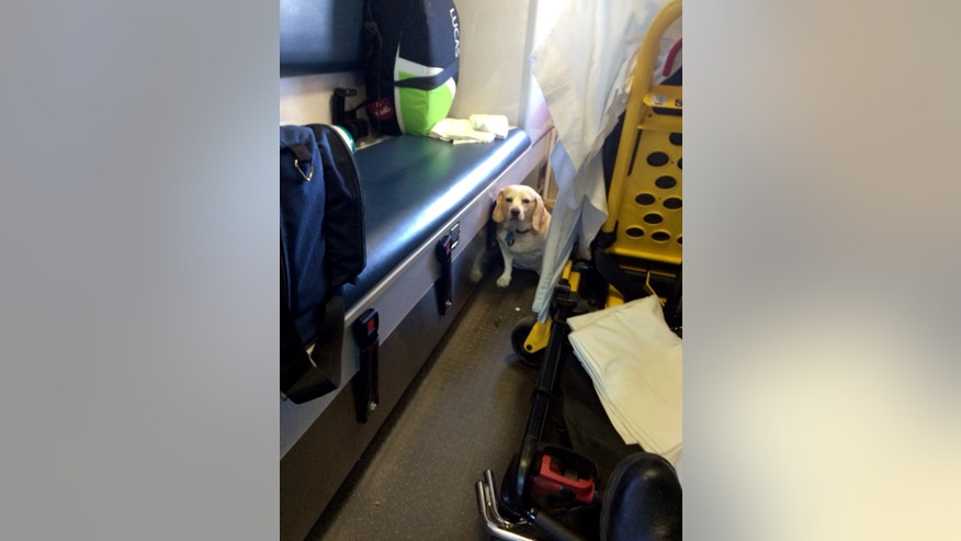 This Oct. 26, 2014 photo shows Buddy a 4-year-old part-beagle in the back of an ambulance in Mason, Texas. The dog hitched a ride on the outside of the ambulance as it was transporting his owner, Mason County rancher J.R. Nicholson to Fredericksburg. After a motorist flagged down the ambulance to say a dog was on a side step, Buddy was then put into the ambulance with the patient. (AP Photo/Tanner Brown)