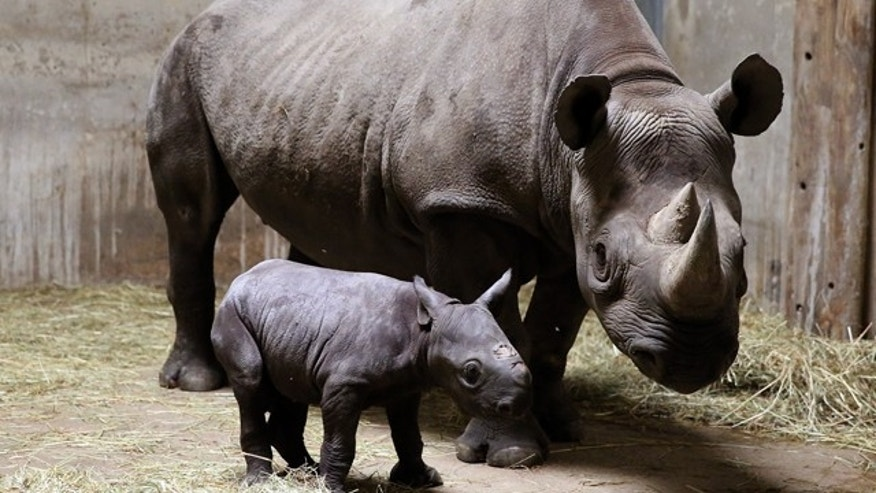 FILE - This Aug. 28, 2013 file photo provided by Chicago's Lincoln Park Zoo shows an Eastern black rhinoceros calf and its mother, 8-year-old Kapuki, at the zoo in Chicago. (AP Photo/Lincoln Park Zoo, Todd Rosenberg, File)