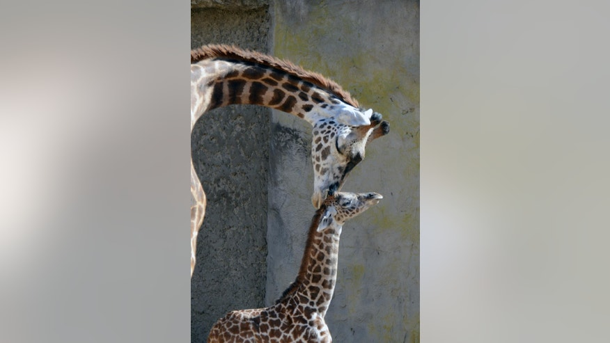 This Monday, Nov. 17, 2014 photo provided by the Santa Barbara Zoo shows a new born baby giraffe with her mother at the Santa Barbara Zoo in Santa Barbara, Calif. on Tuesday, Nov. 18, 2014. Buttercup, who was born last Thursday, is already 186 pounds and over 6 feet tall. (AP Photo/Santa Barbara Zoo, Sheri Horiszny)