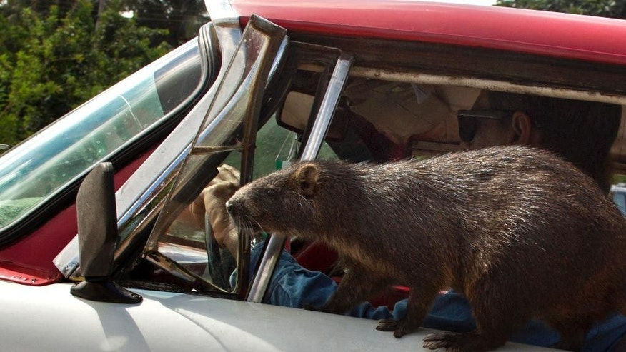 In this Nov. 17, 2014 photo, Congui, a domesticated huitia, rides on the front door of an American classic car driven by its owner Rafael Lopez, in Bainoa, Cuba. Five years ago Lopez and his wife Ana Pedraza adopted Congui, their first pet huitia, a large rodent that lives in Cuba, Jamaica, Bahamas and some of the smaller Caribbean islands. More than a half-dozen more of the furry animals have been born at their home after occasionally bringing in a male huitia in to mate with Congui.(AP Photo/Ramon Espinosa)