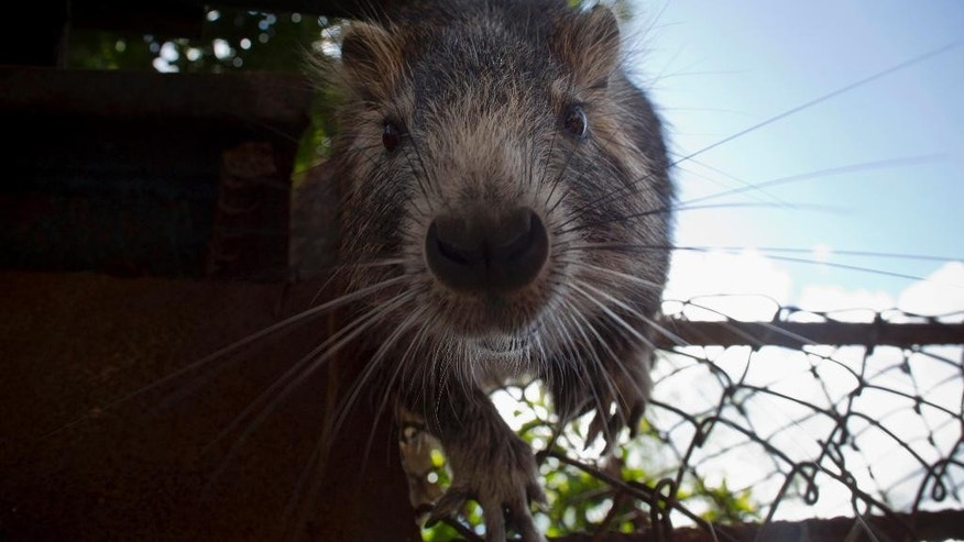 In this Nov. 17, 2014 photo, Pancho, a domesticated huitia, confronts a camera, in Bainoa, Cuba. With their rope-like, dark tails, long front teeth, and whiskers that appear to be vibrating, huitias look like giant rats. They measure nearly a foot long (about 30 centimeters), with the largest ones weighing in bigger than a small dog. (AP Photo/Ramon Espinosa)