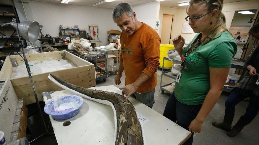 In this Nov. 25, 2014 photo, paleontologist Mike Getty, left, and volunteer Hillary McLean piece back together the tusk of an ancient mastodon, part of an extensive discovery unearthed from Snowmass, Colo., inside a workroom at the Denver Museum of Nature and Science. A trove of ancient bones from gigantic animals discovered in the Colorado mountains provides a fascinating look at what happened about 120,000 years ago when the Earth got as warm as it is today, scientists say. (AP Photo/Brennan Linsley)