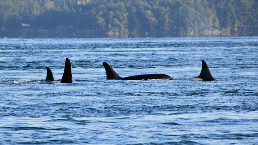 In this photo taken on Nov. 29, 2014, provided by San Juan Orcas, Puget Sound orcas known as the J-pod swim together in Spieden Channel, north of San Juan Island. The death of an endangered Puget Sound orca found on Vancouver Island in Canada might have been related to pregnancy issues, a research group said Friday, Dec. 5, 2014. The 18-year-old female, seen at right, that washed ashore Thursday was a member of the J-pod, one of three families of southern resident killer whales that spend time in the inland waters of Washington state and Canada.    (AP Photo/San Juan Orcas, Melisa Pinnow)