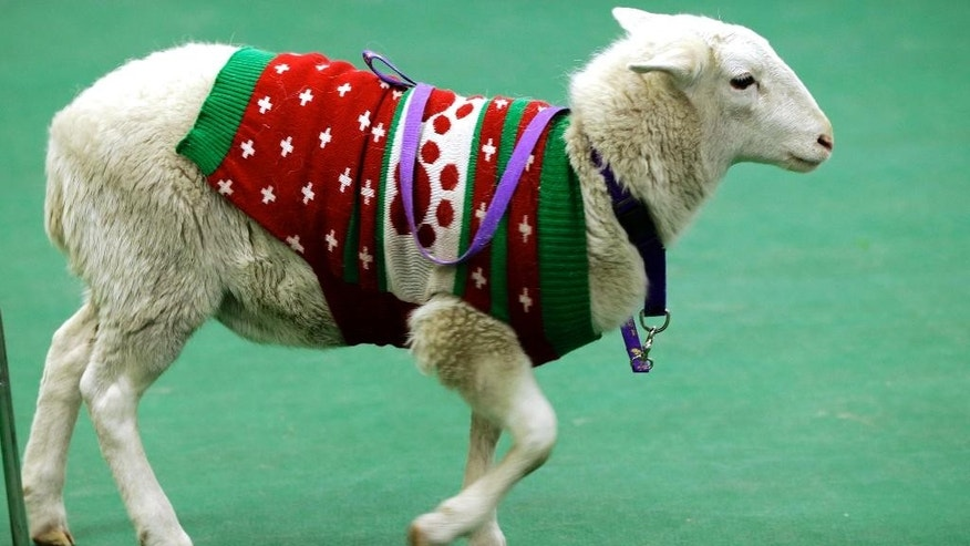 A sheep wearing a sweater walks around at the Humane Society in Omaha, Neb. on Tuesday, Dec. 9, 2014. It was found by police and brought to the Humane Society, awaiting it's owner. A Humane Society spokesperson says the sheep, which appears healthy, has a thick coat, so it likely didn't need the sweater for warmth. (AP Photo/Nati Harnik)