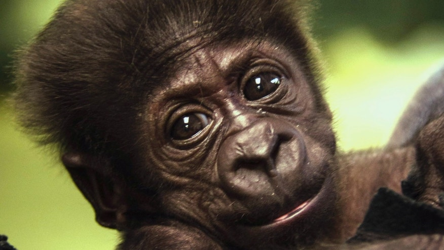 Sept. 21, 2014: Kamina, a Western Lowland gorilla who was born Aug. 16 at the zoo, is pictured at the zoo in Oklahoma City