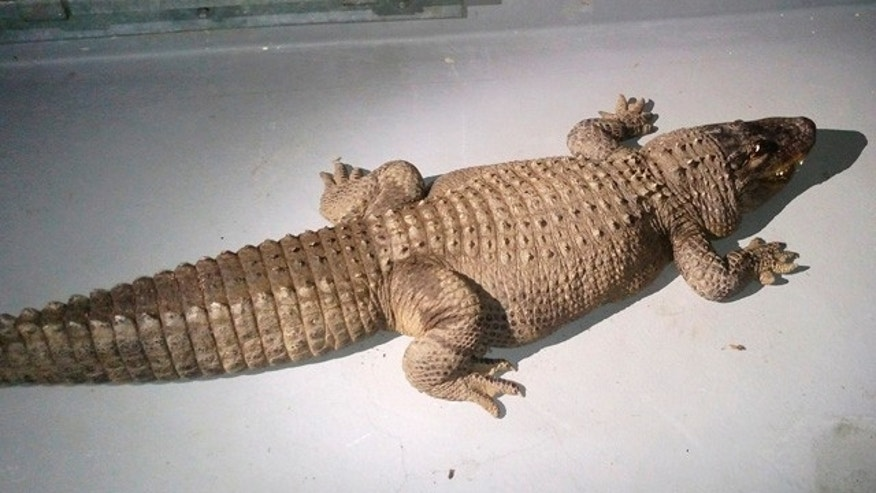 Jan. 12, 2015: This photo shows an 8-foot alligator found in a box with two dead cats in the backyard of a home in the Van Nuys area of Los Angeles. Animal control officers and Los Angeles Zoo officials impounded and moved the reptile, which is estimated to be about 40 years old. (AP Photo/Los Angeles Animal Services Department)
