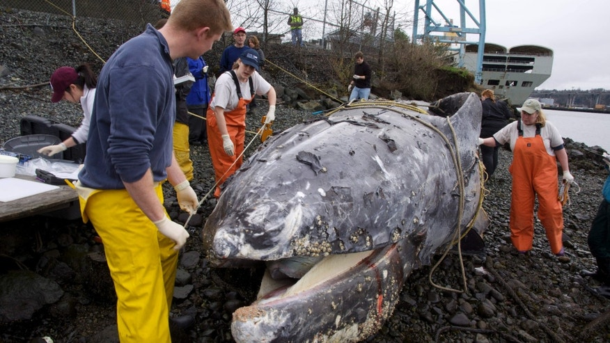 Jan. 24, 2015: A necropsy team measures a gray whale found dead beneath a dock on the Seattle waterfront earlier in the week.