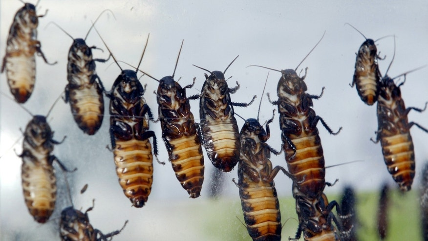 May 23, 2003: Giant Madagascar hissing cockroaches cling to box prior to being cremated a Bangkok hospital.