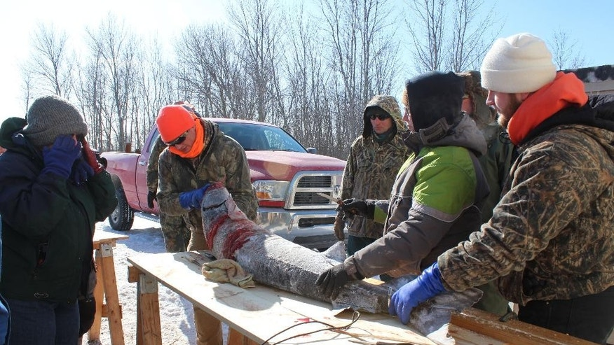 In this Feb. 14, 2015 photo, Northland College student volunteers, from left: Matthew Kraus; Kaitlyn Windschitl and Logan Sikora register a sturgeon on opening day of sturgeon spearing in Winneconne, Wis.  (AP Photo/Carrie Antlfinger)