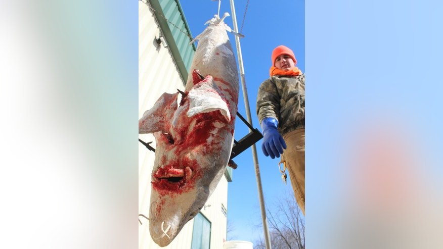 In this Feb. 14, 2015 photo, Northland College student volunteer Matthew Kraus weighs a sturgeon on opening day of spearing season at a registration station in Winneconne, Wis.  (AP Photo/Carrie Antlfinger)
